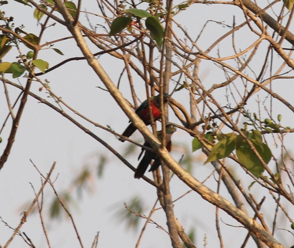 Crimson-bellied Conure (Pyrrhura perlata)