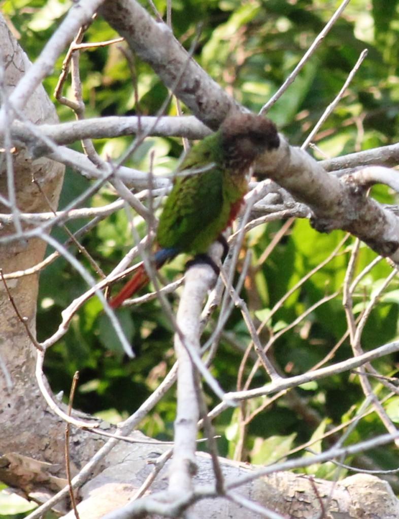 Madeira Parakeet (Pyrrhura snethlage)