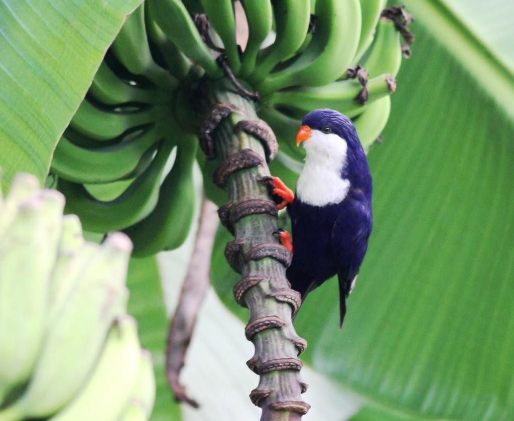 Tahitian Blue Lorikeet (Vini peruviana)