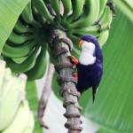 Blue Lorikeet (Vini peruviana) Aka Tahitian Lorikeet