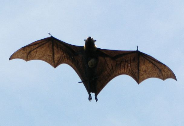 Pacific Flying Fox