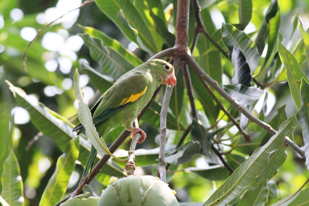 Yellow-chevron Parakeet (Brotogeris chiriri)