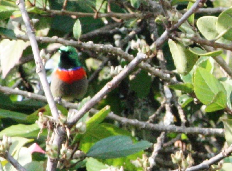 Southern Double-collared Sunbird Cinnyris chalbeus