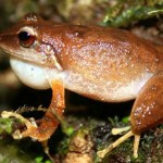 Coqui – The Famous Puerto Rican Frog