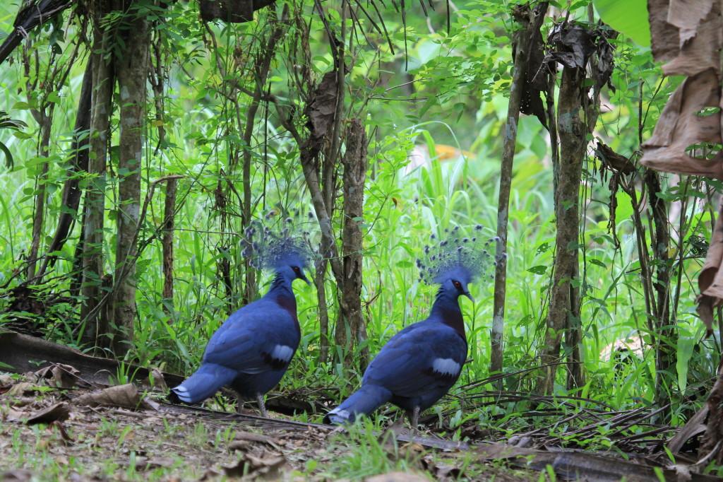 Victoria Crowned Pigeons, Nimbokrang