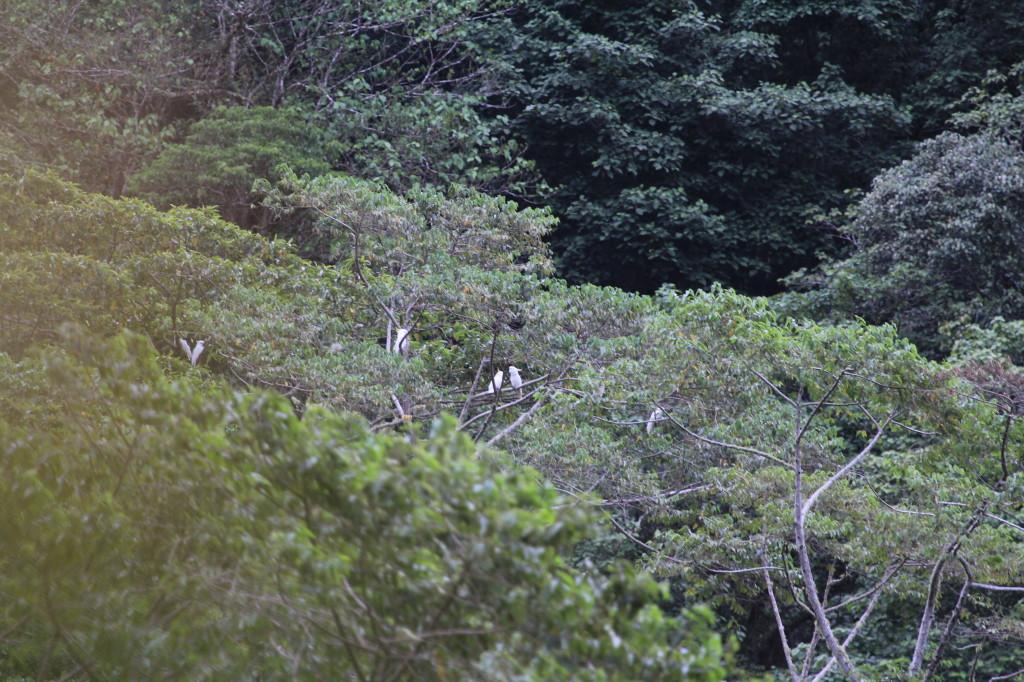 Sulphur-crested Cockatoos (Triton subspecies)