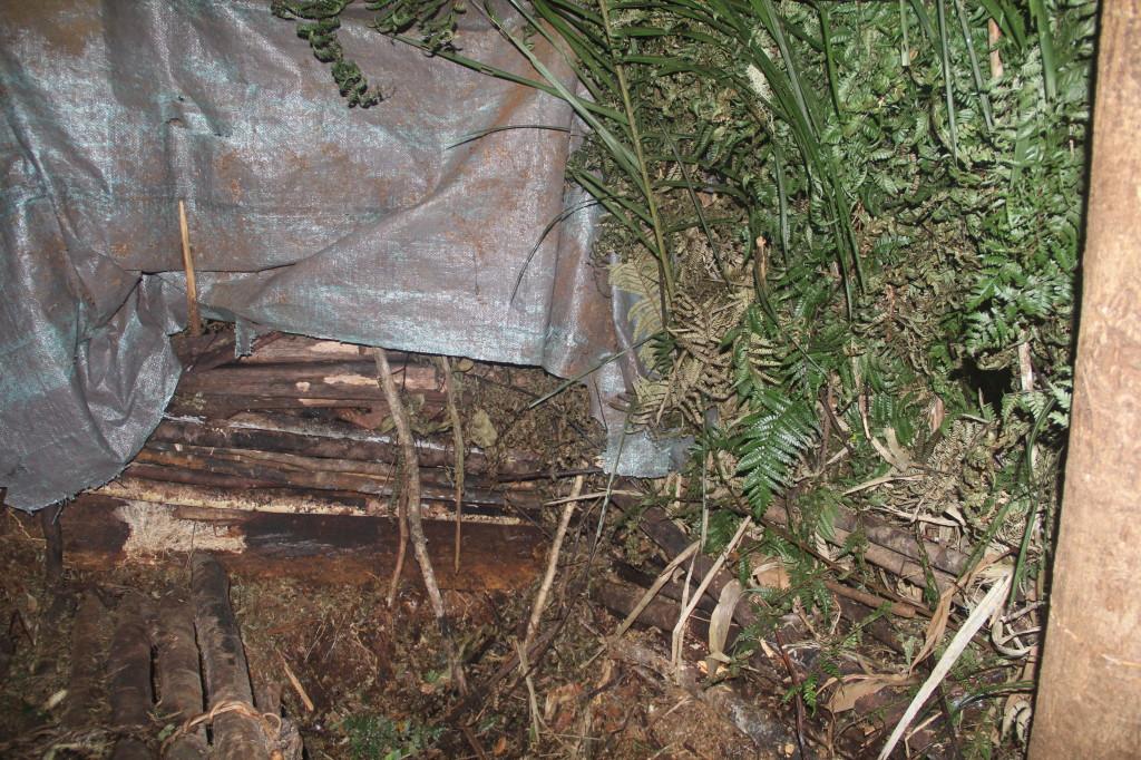 Western Parotia hide