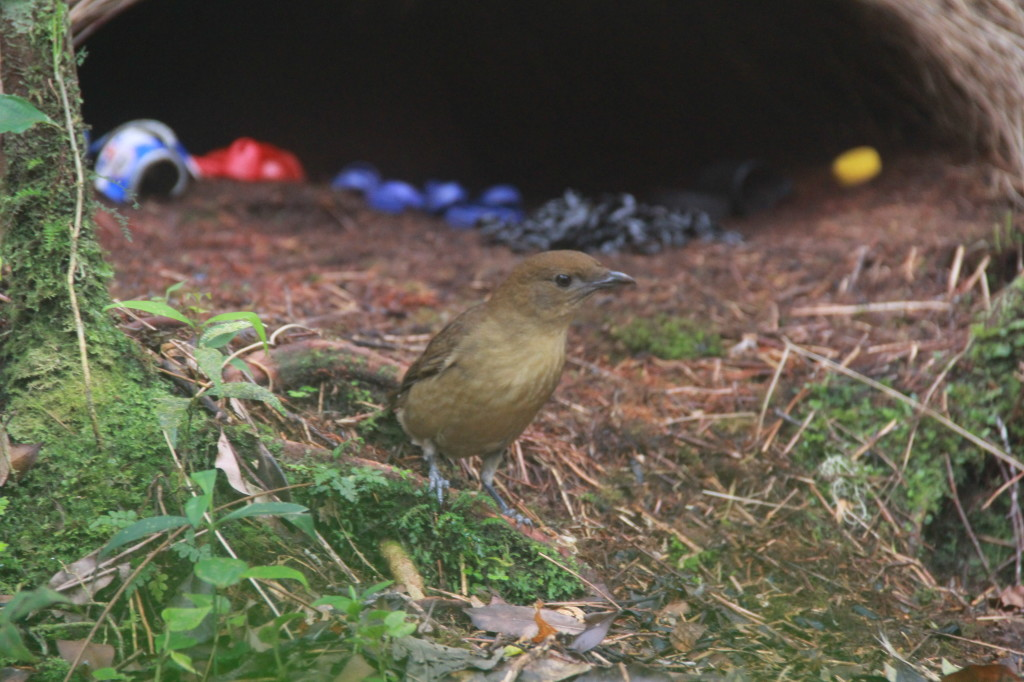 OK lady Bowerbirds, come and check out my awesome bower!