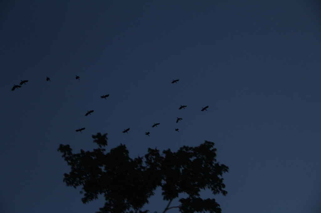 A flock of Blyth's Hornbill fly overhead at dawn