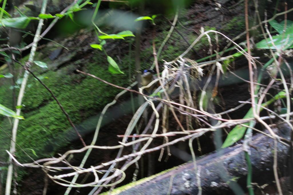 Wilson's Bird-of-paradise, Cicinnurus respublica