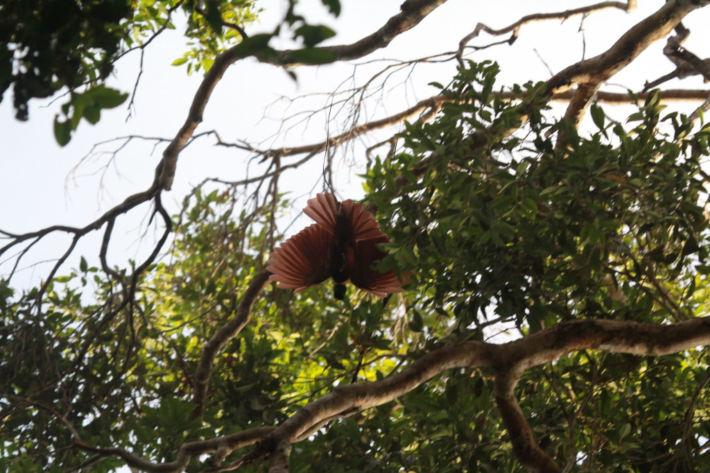 Red Bird of Paradise (Paradisaea rubra), Waigeo- dancing in the trees