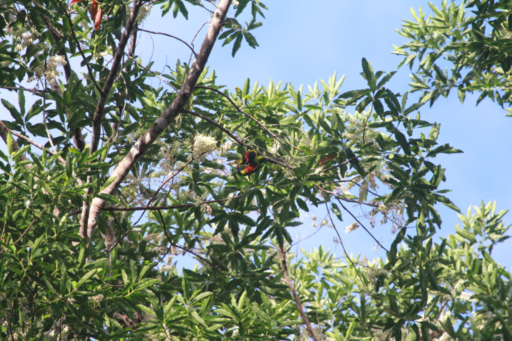 Rainbow Lorikeets mating