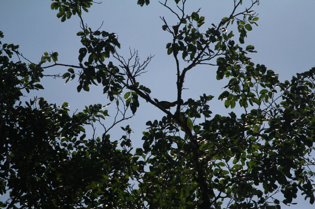 Silhouetted bird in tree, anyone know what it is?