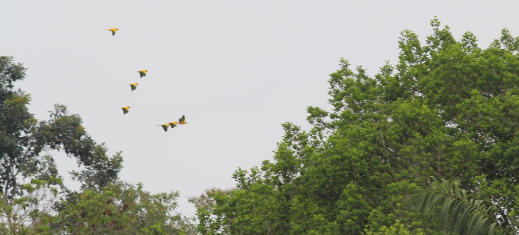 Flock of wild Golden Conures in Amazonia National Park