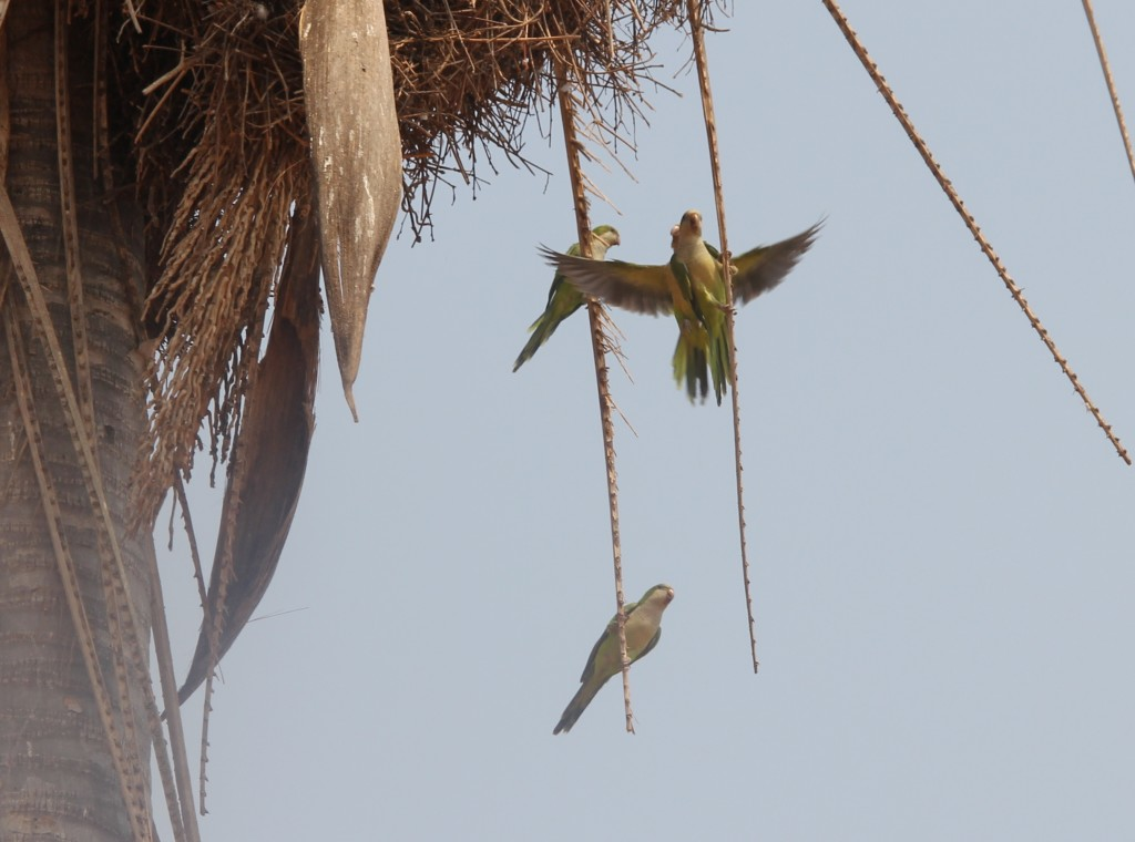 Quaker Parrots building a nest in the Pantanal, Brazil