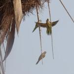 Quaker Parrot (Myiopsitta monachus)