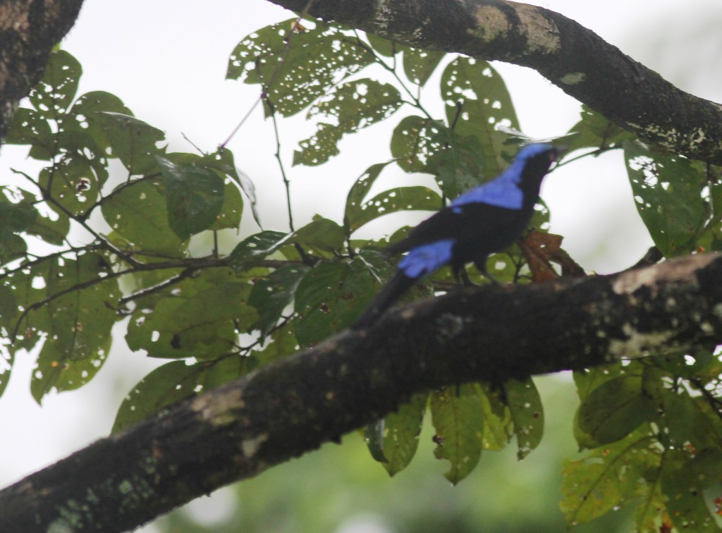 Thattekad Asian Fairy-bluebird3