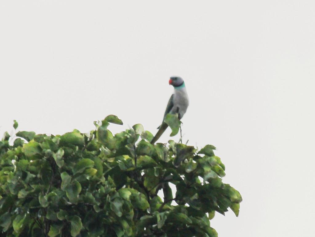 Malabar Parakeet A