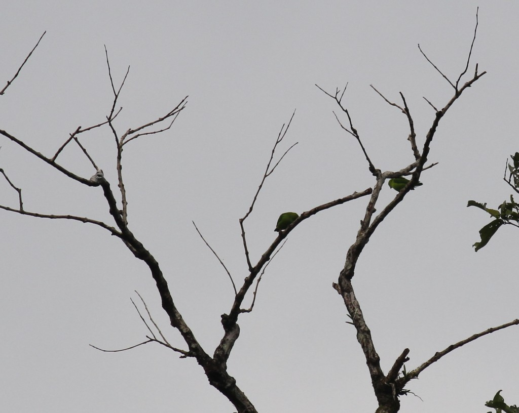 Thattekad Vernal Hanging Parrot