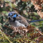 Superb Fairy-wren Elected Australia's Favourite Bird