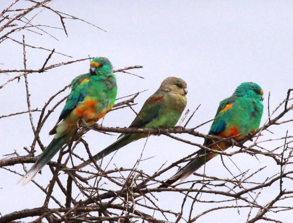 Mulga Parrot [Bushpea 6/24]