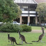 Kangaroos Everywhere!