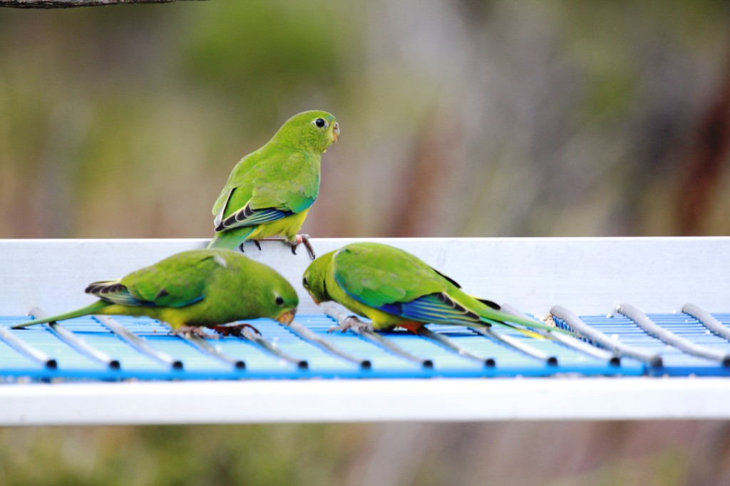 Orange-bellied Parrots eating