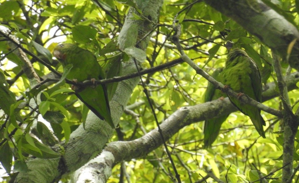 how to train a canary winged parakeet