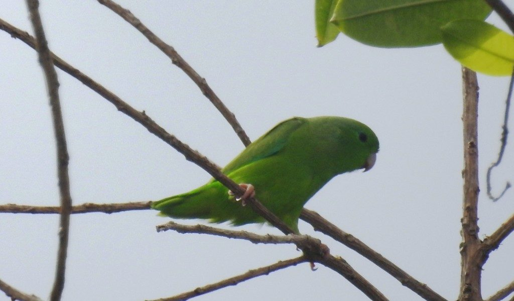 brazilian parrots miles to the wild